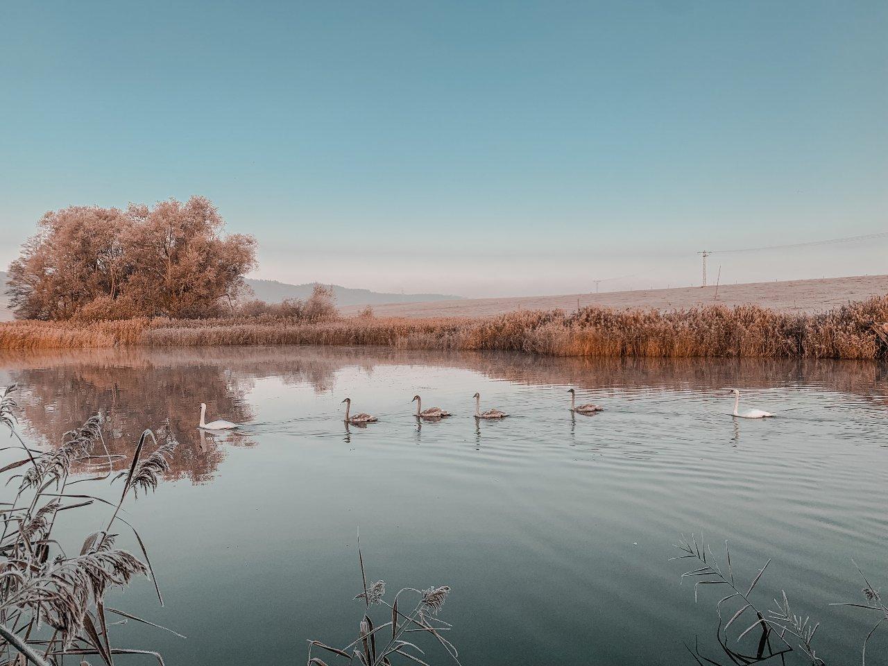 rybník s labutěmi v zimě